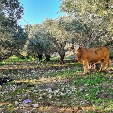 Eine Kuh zwischen Bäumen auf einer blühenden Wiese.